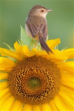 Bird standing on sunflower iPhone wallpaper