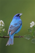 Blue bird iPhone wallpaper