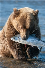 Brown bear catching a fish in the river iPhone wallpaper