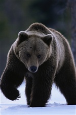 Brown bear on snow iPhone wallpaper