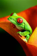 Frog in flower iPhone wallpaper