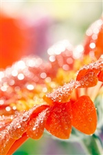 Gerbera flower petals, water drops iPhone wallpaper