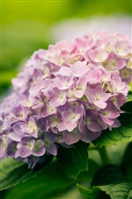 Hydrangea flowers close-up iPhone wallpaper