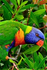 Multicolor lorikeet parrot iPhone wallpaper