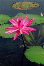 Pink water lily iPhone wallpaper