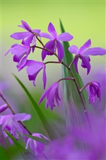 Purple bletilla flowers iPhone wallpaper