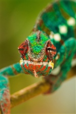 Amphibians chameleon iPhone Wallpaper