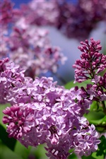 Beautiful lilac flowers iPhone Wallpaper