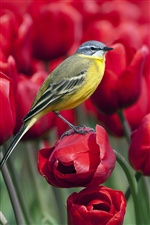 Bird standing on a red tulip flower iPhone wallpaper