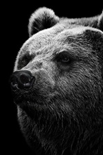 Black bear iPhone wallpaper