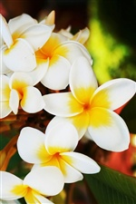 Blooming frangipani flowers iPhone wallpaper