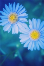 Blue background daisies iPhone wallpaper