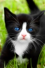 Blue eyes black cat iPhone wallpaper