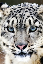 Blue eyes snow leopard face close-up iPhone wallpaper