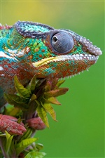 Chameleon close-up iPhone wallpaper