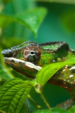 Chameleon with green leaves iPhone wallpaper