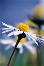 Chamomile close-up, blurred background iPhone wallpaper