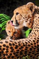 Cheetah with cheetah baby rest iPhone wallpaper