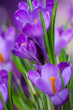 Crocuses purple flowers iPhone wallpaper
