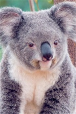 Cute koala iPhone wallpaper
