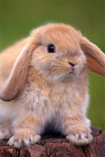 Cute rabbit close-up iPhone wallpaper