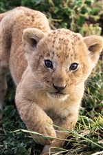 Cute small lion learns iPhone wallpaper