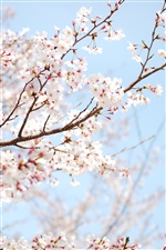 The cherry blossoms in spring iPhone wallpaper