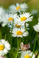 White camomile flowers iPhone wallpaper