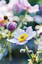 Anemones flowers macro iPhone wallpaper