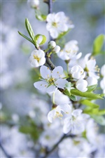 Apple flowers blossom, white petals iPhone wallpaper