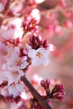 Cherry flowers blossom season iPhone wallpaper