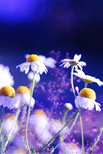 Daisy flowers blue background iPhone Wallpaper