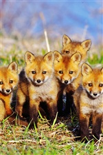 Five cute little fox iPhone wallpaper