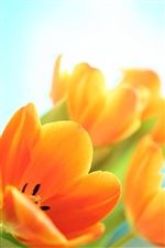 Flowers spring tulips iPhone wallpaper