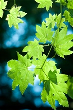 Fresh green maple leaves iPhone Wallpaper