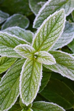 Frost green mint leaves iPhone wallpaper