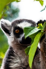 Funny lemur iPhone wallpaper