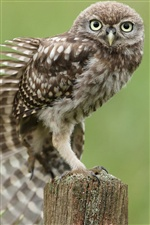 Gray owl iPhone wallpaper