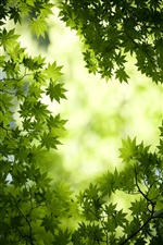 Green maple leaves background iPhone wallpaper