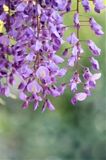 Wisteria purple flowers iPhone wallpaper