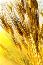 Golden wheat close-up iPhone wallpaper