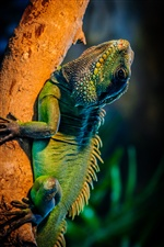 Green iguana in the tree branch iPhone Wallpaper