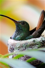 Hummingbird bird nest iPhone Wallpaper