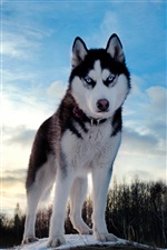Husky dog, winter sky iPhone wallpaper
