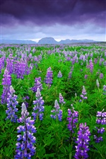 Iceland, lavender fields purple flowers iPhone wallpaper