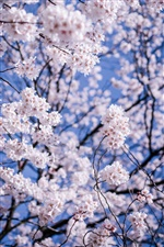 Japan, Matsumoto, Nagano Prefecture, white cherry flowers bloom iPhone wallpaper