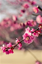 Park, pink flowers plum iPhone wallpaper