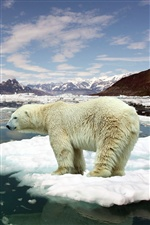Polar bear on ice floes iPhone wallpaper