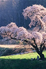 Japanese landscape, the cherry blossom iPhone Wallpaper