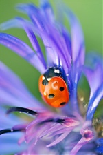 Ladybug on purple petals macro iPhone Wallpaper